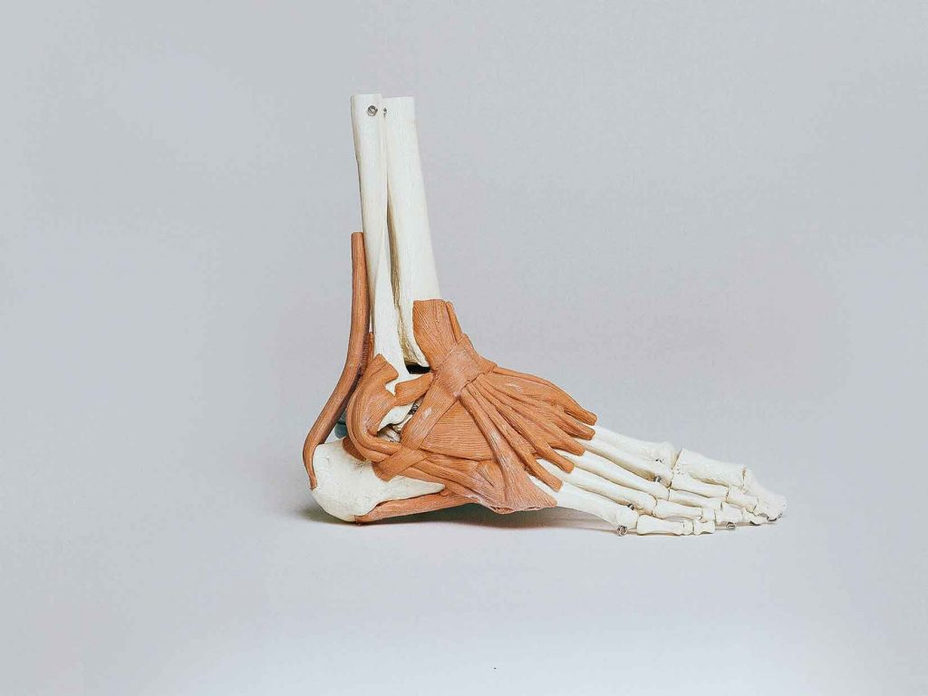 anatomy of the human foot showing metatarsals, joints and muscles used in skating. Reasons to protect you rice skating feet